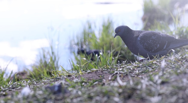 Pigeon on the shore of the pond. a gray bird by the river. the dove feeds near the pond in spring.