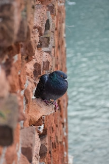 A pigeon sits on an old brick vertical wall. below on a blurred background is the river.
