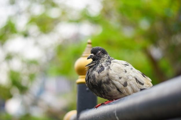 비둘기는 거리 (columba livia domestica), 비둘기 또는 국내 비둘기의 연석에 앉아 있습니다.