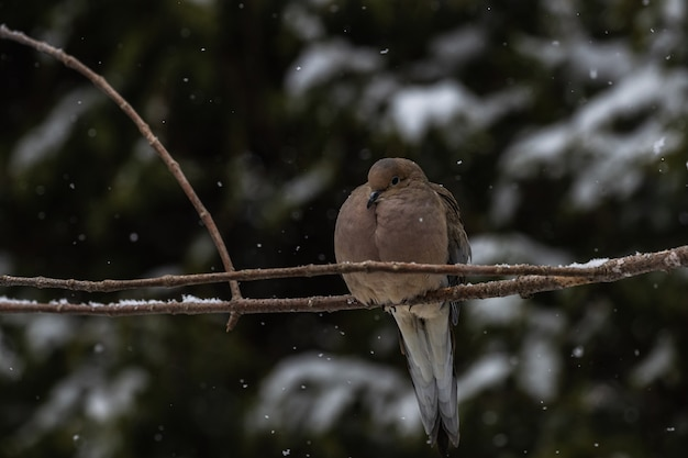 雪の下で木の細い枝に座っている鳩