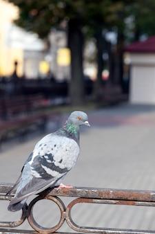 Голубь сидит на заборе и смотрит в камеру, крупный план