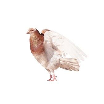 Голубь расправляет крылья и готов к полету. птица, изолированные на белом фоне