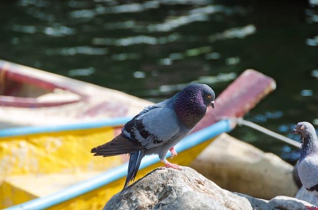 Голубь стоит на скале у озера