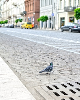 Pigeon on the street of the city