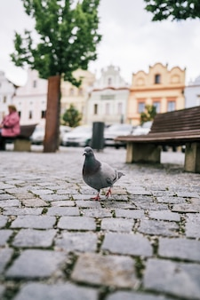 Pigeon walking on ground on square