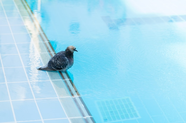 Pigeon washed and drinking water in the swimming pool in hotel of egypt