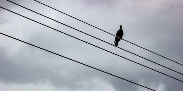 Pigeon on the wire with gray background