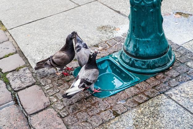 トルンポーランドの歴史的な広場にあるハトと鳥の飲みボウル