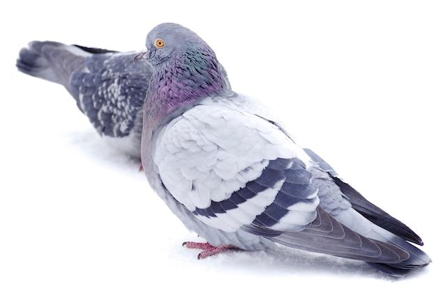 白い背景で隔離のハト