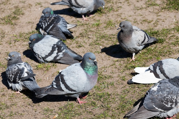 도시에 사는 비둘기
