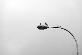 Pigeons on a streetlamp