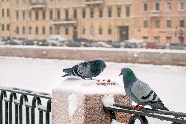 Голуби клюют крошки хлеба на заборе набережной зимой во время снегопада на фоне старого города.