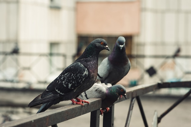 Pigeons sit on an iron fence