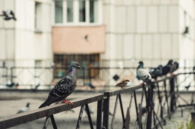 ハトは、高層ビルの中庭にある鉄のフェンスの上に座っています。市の中庭。