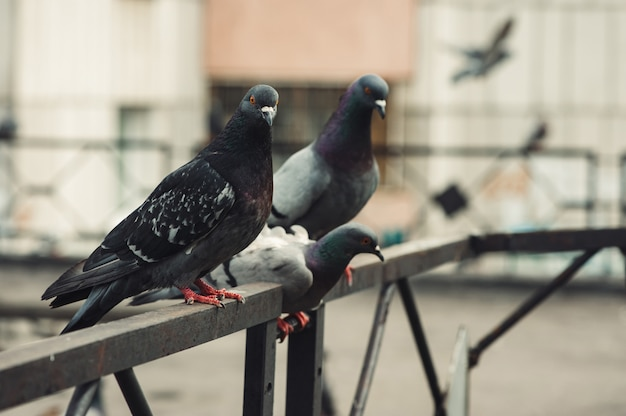 Pigeons sitting on an iron fence