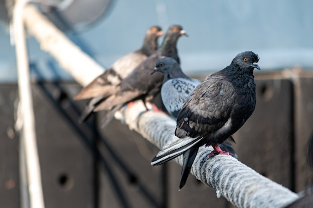 Pigeons sitting on ship hawser. thick rope tied to mooring. pigeons in city port Premium Photo