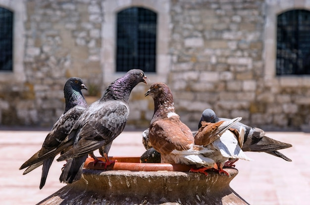Pigeons standing near the old church stone wall, old town of larnaca