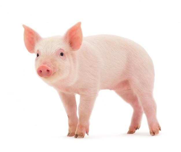 흰색 배경에 고립 된 돼지