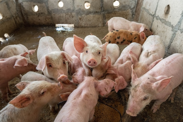 Piglets are scrambling to eat food in a pig farm.