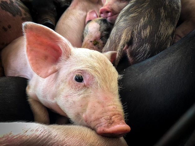 Piglets are trapped in a cage.