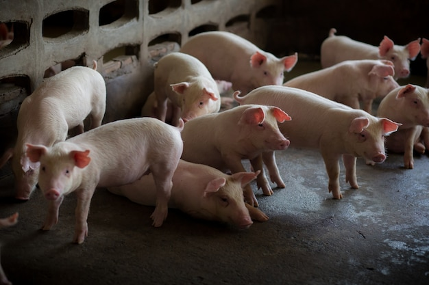 Piglets indoors on a pig farm.