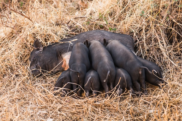 Piglets of wild boar drink milk from their mother.