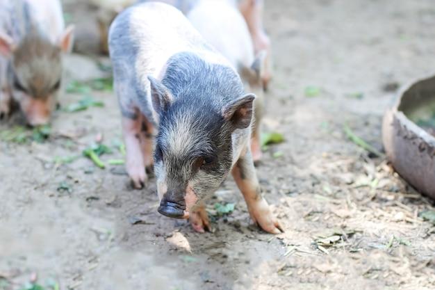 豚が食べようとしています。農場で餌を待っている小さな子豚。屋外で遊ぶ小さな子豚