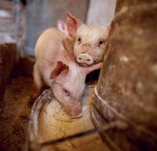 豚舎で豚。