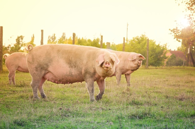 野外で家畜を飼っている豚。