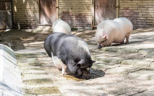 農場内で食べ物を探している豚