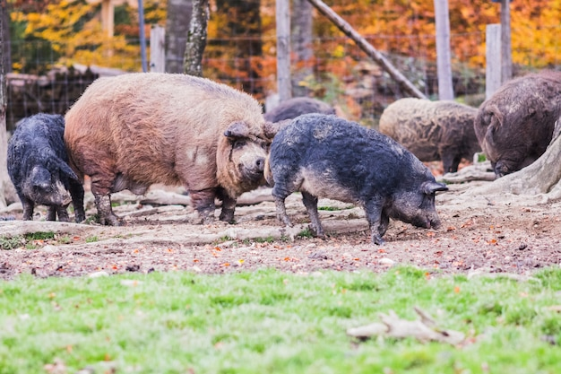Pigs of the mangalica breed