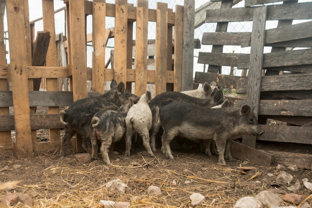 Pigs in the sty of a farm
