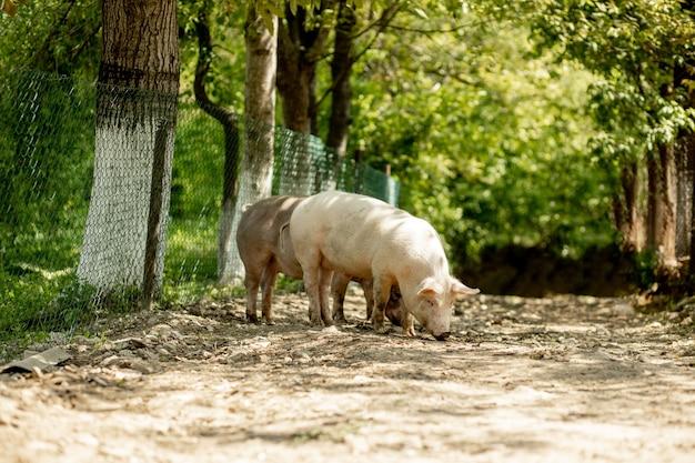 豚は田舎の道を歩く