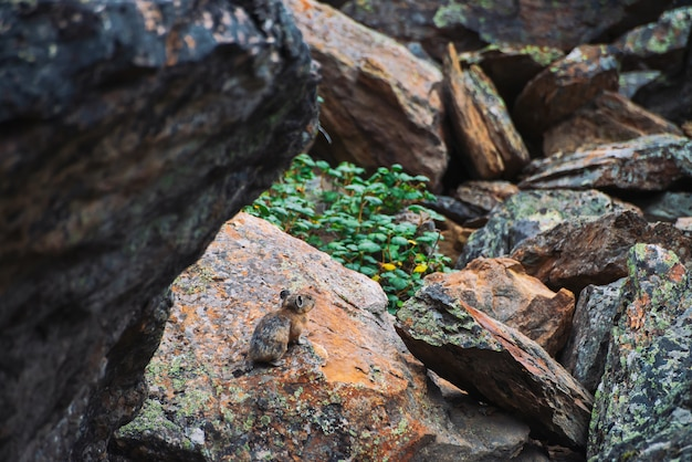 Pika rodent on stones in highlands. small curious animal on colorful rocky hill.