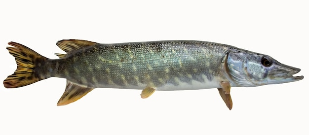 파이크 물고기 흰색 절연