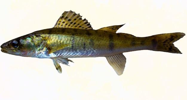 파이크 농어 물고기 흰색 절연