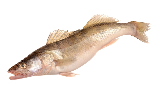 Pike perch isolated on white