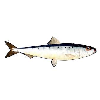 魚のピルチャード、水彩の隔離された図。