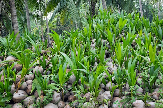 Pile of coconut seedlings