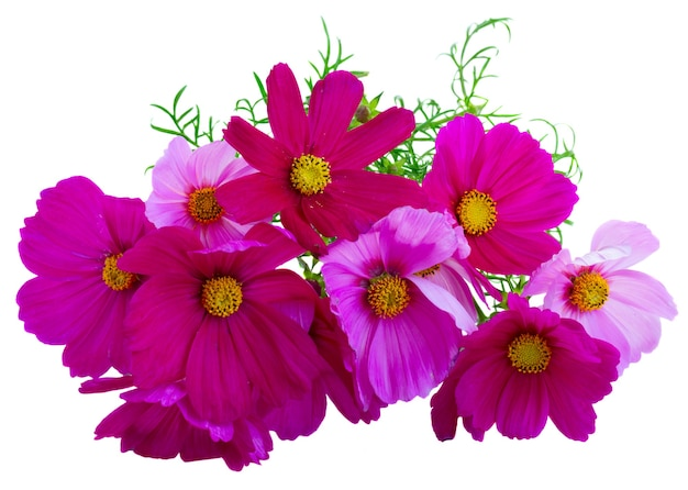 Pile of cosmos pink flowers isolated on white
