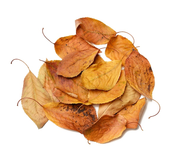 Pile of dry golden cherry leaves isolated on white background, top view