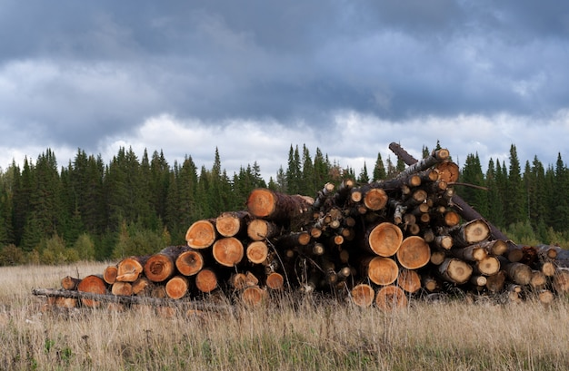 Pile of felled trees on dry grass of green coniferous forest and overcast sky.