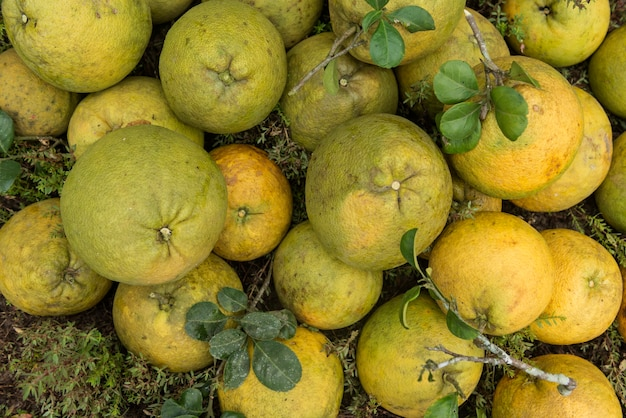 Pile of fresh pomeloes in the pomelo garden.
