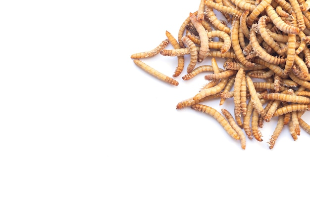 Pile of mealworms larvae feed isolated on white background