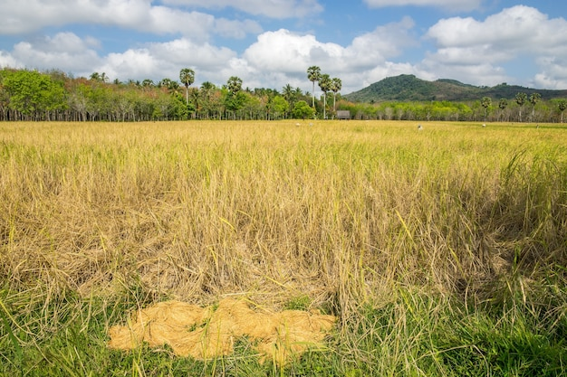 Pile of paddy bundle after harvest and ricefield