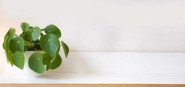 흰색 나무 선반과 현대 흰 벽 질감에 pilea peperomioides 돈 공장