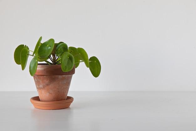 흰색 배경에 pilea peperomioides 식물