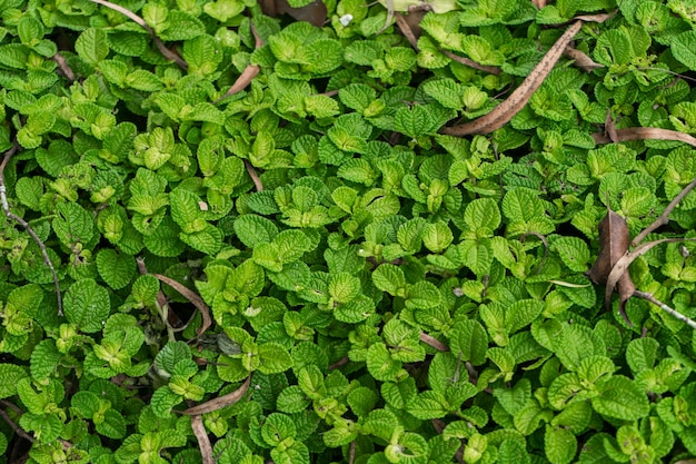 自然の熱帯雨林の生息地のpilea植物