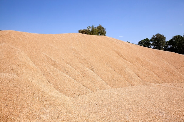 Piled into a heap of wheat at harvest time