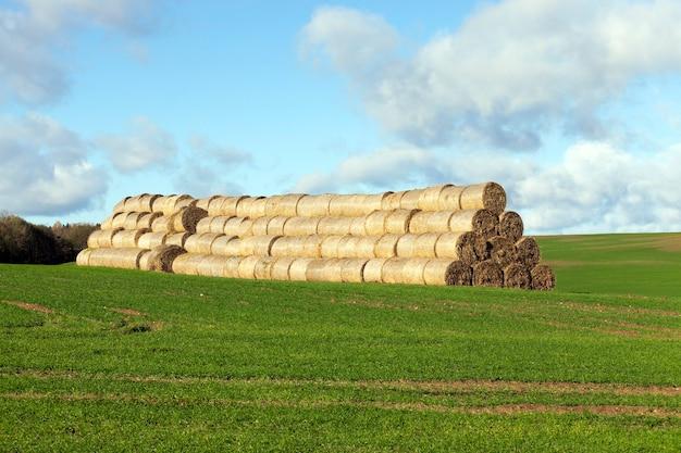 곡물 수확 후 건초 더미 짚으로 쌓여있다.